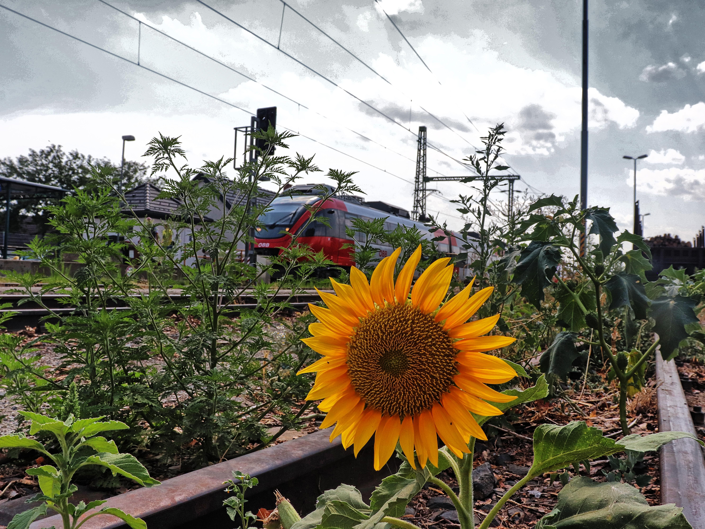 Sonnenblume mit ÖBB 4124 im Hintergrund